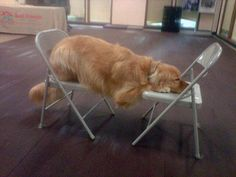 planking  Only a Golden would find use for chairs as a make shift hammock--