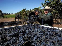 Maragas Winery, Monkey Face Vineyard reaps record harvests
