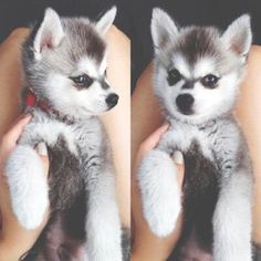 pomsky puppies with blue eyes - Google Search