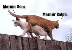 Cats love to roam around their neighborhood and this often means climbing on fences. Here are some memes of cats sitting on fences. # cats # fences # funny cats # cat memes