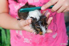 3 Ways to Bathe a Guinea Pig - wikiHow
