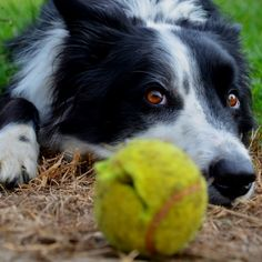 The Border Collie stare