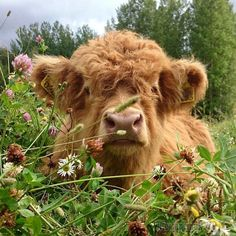 Hugh Highlander Highland Cow (don't bother me while im being cute. baby…) ) ) Hugh Highlander Highland Cow (don't bother me while im being cute. Cute Baby Cow, Baby Cows, Cute Cows, Cute Babies, Baby Farm Animals, Cute Creatures, Beautiful Creatures, Animals Beautiful, Fluffy Cows