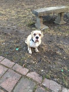Adopted February 2017! Rocco is a young bulldog/boxer mix that was dumped by his owner with his brother. Rocco is dog and kid friendly and appears to be housebroken.