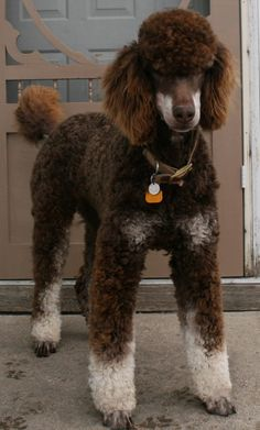 Our dog, Cadbury.  He's a chocolate & cream phantom marked Standard Poodle (this dog is beautiful! unshowable though, according to AKC Standards, the breed Must be SOLID Colored to be admitted to the Show Ring, So Don't pay Show Quality Prices for a Pet Quality Dog.  Regardless..He's a BEAUTY!)