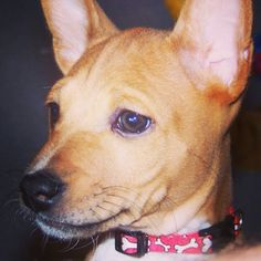 My Dexter. Basenji puppies are so cute!