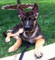 German Shepherd - look at those ears!