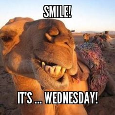 Smile Its Wednesday wednesday hump day humpday hump day camel wednesday quotes happy wednesday wednesday quote happy wednesday quotes Hump Day Quotes, Hump Day Humor, Funny Mom Quotes, Morning Humor, Morning Quotes, Humor Quotes, Funny Jokes, Monday Humor, Funny Morning Memes