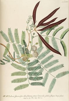 Georg Dionysus Ehret, Acacia illustration for Plantae selectae quarum imagines ad exemplaria naturalia Londini, in hortis curiosorum nutrita, by Christoph Jacob Trew, 1750-73.