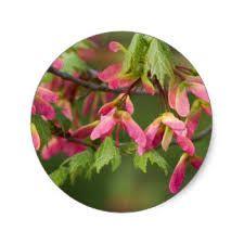 Resultado de imagen de sycamore seeds