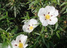 La flor de Jara. Extremadura.