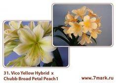Vico Yellow Hybrid  X Chubb Broad Petal Peach1