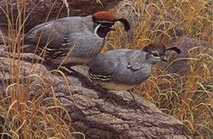 Robert Bateman - Gambel's Quail Pair - Search Gallery One for Bateman, Robert limited edition prints, giclee canvases and original paintings by internationally-known artists Nature Paintings, Beautiful Paintings, Mountain Art, Batman, Canadian Artists, Outdoor Art, Wildlife Art, Limited Edition Prints, Bird Art