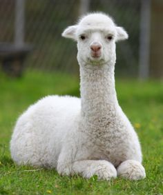 Llamas are cute, quirky and surprisingly low-maintenance animals. Here's some information to get you started raising llamas. Originally published as