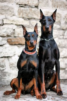 #Doberman #pinscher brothers - LOL, seriously? A German Pinscher bitch & A Doberman Pinscher bitch.... dobie brothers?