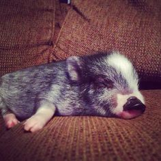 Sweet dreams for mini piglet