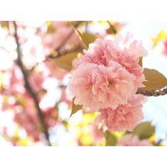 【mari1126na】さんのInstagramをピンしています。 《. . 今年ラストの桜🌸 . ぼんぼりみたいで可愛い💕 . . #茨木 #茨木中央公園 #桜 #見納め #写真好きな人と繋がりたい #写真撮ってる人と繋がりたい #カメラ好きな人と繋がりたい #カメラ初心者 #カメラ女子 #カメラ女子部 #2016年4月》