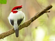 the Araripe Manakin, a stunning species only discovered in 1996 that numbers fewer than 800 individuals and survives only in a tiny part of northeastern #Brazil