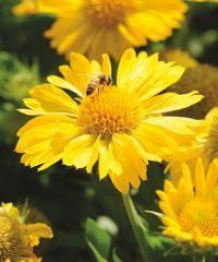 """Common nameBlanket FlowerBotanical nameGaillardia x grandifloraVarietyMesa® YellowZoneUSDA Zone 6 (-10°F) to USDA Zone 9 (20°F).ColorYellowLightsunHeight16-18"""" (41-46 cm)HabituprightWaterevery other dayFeeduse all-purposeMaintenanceremove spent blooms"""