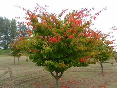 PARROTIA PERSICA/PERSION PARROTIA (PARROT TREE has many names): Size: 15'–35' high x 15'–30' wide (moderate growth rate, 10´ in 6–8 yrs). Hardy to Zone 5. Pest free Persian Ironwood prefers well drained soil and detests both overly wet or dry conditions.  Low branched, round headed, deciduous Persian native with tremendous landscape value.