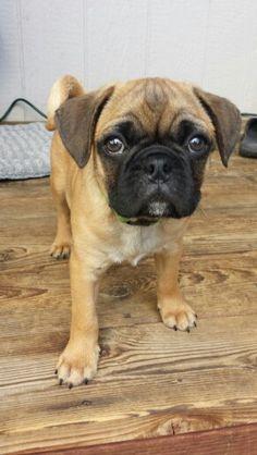Winston my pug bulldog mix