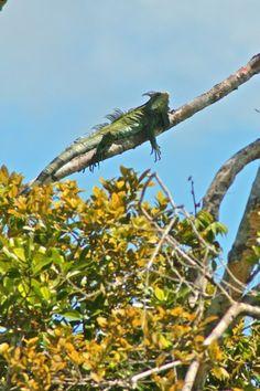 THE PERUVIAN AMAZON- Piranha, Iguana & Hotter Than A Sauna