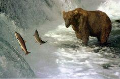 Brown bear and salmon | Endless Wildlife