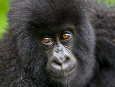 Visit us to day for your safaris to Uganda Rwanda to to the Adventurous Gorilla Tracking in Africa and watch up to 25% of Africa's Primates in Nyungwe Forest National Park http://www.rwandasafari.co.uk/