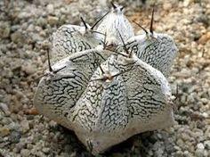 Resultado de imagem para astrophytum ornatum