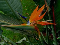 Bird of Paradise Flower (Strelitzia) by vsraam, via Flickr