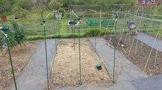 Building brassica cages to keep the cabbage white butterlies and pigeons off the broccoli at my organic kitchen garden / allotment plot.