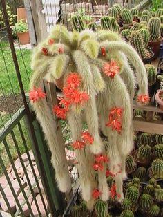 Cactos Rabo De Macaco (monkey tail)