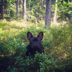 Poppy i blåbärsskogen!  #fralla #frenchie #franskbulldog #frenchbulldog #frenchiesofinstagram #bulldog #bully #blueberry #blåbär #blåbärsskogen #forest #skogen (at Nordmarka)