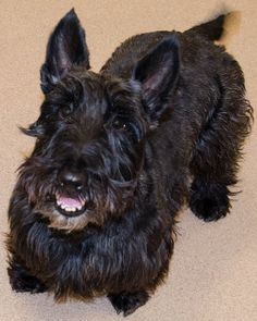 Clancy  #scottie #dogtraining