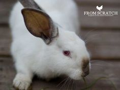 Breeding rabbits for meat