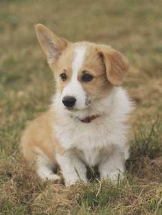 corgi which I will own and name charlie cause I suddenly name all my animals charlie