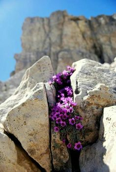 Purple flowers growing in an unsuspecting place. Amazing Flowers, Purple Flowers, Beautiful Flowers, Rock Flowers, Wild Flowers, Bloom Where Youre Planted, Alpine Plants, All Things Purple, Amazing Nature