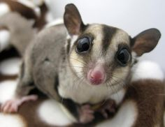Exotic pets 571535008938427510 - These cute exotic pets are ADORABLE! The 10 Cutest & Most Cuddly Exotic Pets. – Some Pets Source by Bizarre Animals, Unusual Animals, Animals And Pets, Baby Animals, Funny Animals, Cute Animals, Exotic Animals, Unusual Pets, Weird Pets