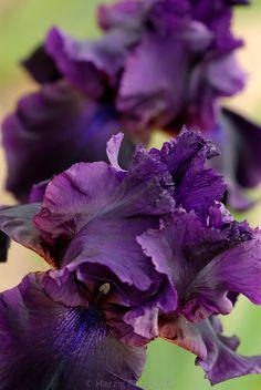 ~Iris 'Black Tie Affair.'             ....(KO)  Favorite since childhood. My Mom grew them near our back garden gate. They were purple, too. So pretty.