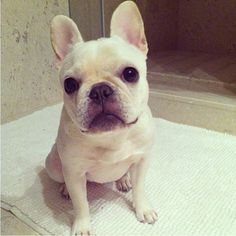Leia the French Bulldog is our featured puppy of the day!! Congrats to @Darla Voyce