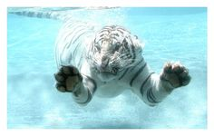 Big Fish or White Tiger. by sergey1984.deviantart.com on @deviantART