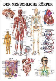 The Human Body Laminated Anatomy Chart . The Human Body Anatomy Chart is a beautiful and newly available highly educational chart from Anatomical Worldwide. Body Anatomy Organs, Intestines Anatomy, Human Body Organs, Human Body Systems, Human Anatomy And Physiology, Body Organs Diagram, Body Diagram, Body Chart, Human Body Crafts