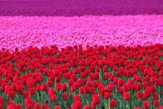 tulips! . . .  If this wasn't taken in the Skagit Valley in the Spring at least it looks like it was ... :)