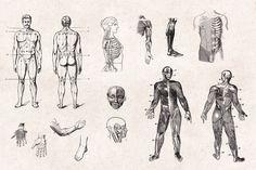 Human-Anatomy-Vintage-Engraving-Illustrations-02.jpg (1340×892)