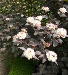 Ninebark Flowering Shrub