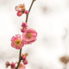 桜 Sakura. Shirakawa-minami Dori | (Kyoto Kyoto Japan) | Camera: Olympus E-M1MarkII | Lens: OLYMPUS M.12-100mm F4 | 2017 AchakBrooks.com (All Rights Reserved & Moral Rights) Daily Journal #photo #hike #はな #花 #山 #mountain #hike #flowers  #日本 #Japan #EM1 #OLYMPUS #omd #olympuscamera #AchakBrooks #12100mmf4 #hana #花
