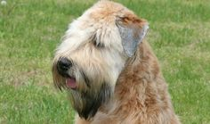 soft coated wheaten terrier haircut photos soft coated wheaten terrier dog breed information Terrier Dog Breeds, Wheaten Terrier, Terriers, Wheaton Terrier Soft Coated, Beautiful Dogs, Animals Beautiful, Irish Dog Breeds, Dog Bearding, Glen Of Imaal Terrier