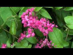 Horta, frutas e flores no jardim: Floração Amor Agarradinho