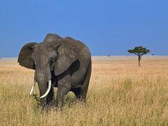 free email background images | Grazing African elephant Kenya free desktop background - free ...