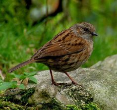 Dunnocks are quite hard to distinguish from sparrows but a couple of them often lurk around in a big bush by the back door, dashing out for dust baths when no one is around
